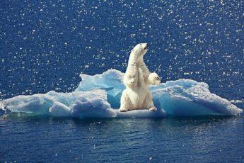 10 фактов о белых медведях
