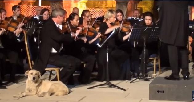 лабрадор на концерте Венского оркестра