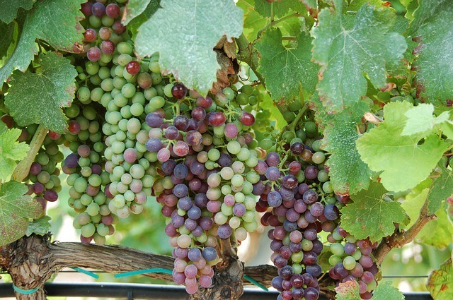 виноград на удачу Испания
