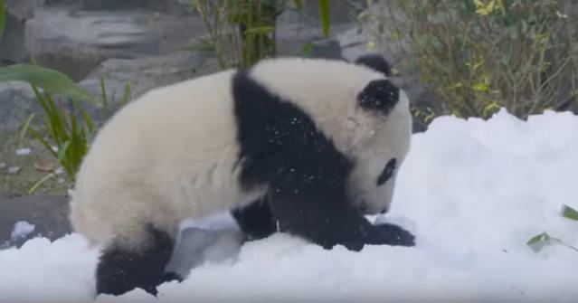поднять настроение пандам